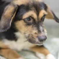 Adopt A Pet :: Shirley - Columbia, SC