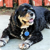 Cocker Spaniel Dog for adoption in Antioch, California - Bonnie