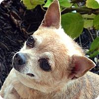 Adopt A Pet :: Lou - Bridgeton, MO
