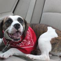 Adopt A Pet :: Harley - Dalton, GA
