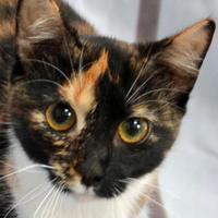 Adopt A Pet :: Opal - Englewood, FL