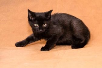 Domestic Shorthair/Domestic Shorthair Mix Cat for adoption in Chesapeake, Virginia - Chase