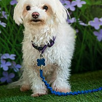 Maltese Mix Dog for adoption in Alpharetta, Georgia - Arney
