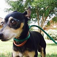 Adopt A Pet :: Pancho - Irving, TX