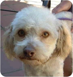 Poodle (Miniature) Dog for adoption in San Diego (all areas), California - Marcel