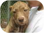 American Pit Bull Terrier/Shar Pei Mix Puppy for adoption in Newington, Connecticut - lani