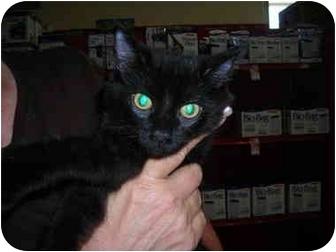 Domestic Shorthair Kitten for adoption in Riverside, Rhode Island - Mia