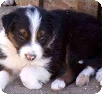 Border Collie Puppy for adoption in Phelan, California - TOBEE