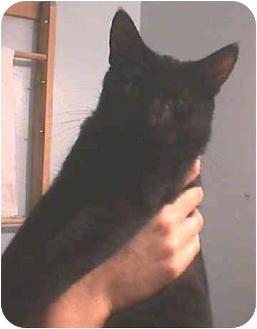 Domestic Shorthair Kitten for adoption in Yorba Linda, California - Kenny