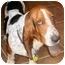 Photo 2 - Basset Hound Dog for adoption in Phoenix, Arizona - Fletcher