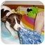 Photo 1 - English Pointer/Brittany Mix Puppy for adoption in Wood Dale, Illinois - Julia
