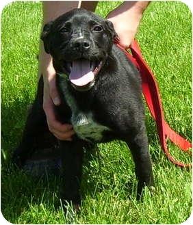 Labrador Retriever/Shepherd (Unknown Type) Mix Puppy for adoption in Somerset, Pennsylvania - Bella