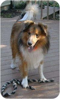 Collie Dog for adoption in Minneapolis, Minnesota - Schatzie