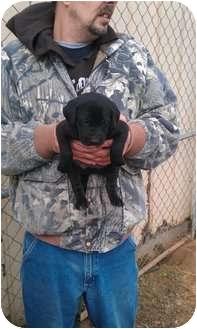 Labrador Retriever Mix Puppy for adoption in berwick, Maine - Luke
