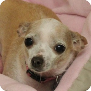 Chihuahua Mix Dog for adoption in Naperville, Illinois - Poppy