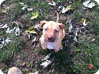 American Pit Bull Terrier Mix Puppy for adoption in Columbus, Ohio - Bogart - Adoption Pending