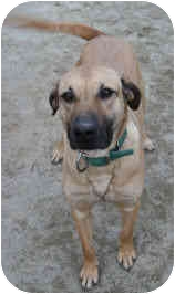 Anatolian Shepherd/Catahoula Leopard Dog Mix Dog for adoption in Blackstone, Virginia - The Great Houdini