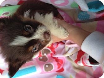 Australian Shepherd Puppy for adoption in El Segundo, California - Austin