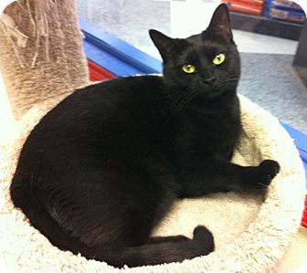 Domestic Shorthair Cat for adoption in Warminster, Pennsylvania - Carmen
