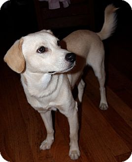 Labrador Retriever Mix Dog for adoption in Rockville, Maryland - Skippy - PENDING!
