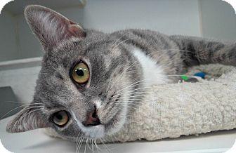 Domestic Shorthair Cat for adoption in Staunton, Virginia - Gracen