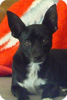 Chihuahua/Dachshund Mix Dog for adoption in Jesup, Georgia - Jimmy Dean