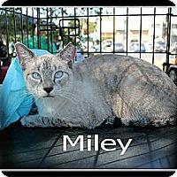 Siamese Cat for adoption in Wichita Falls, Texas - Miley