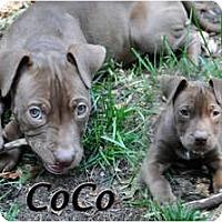 Adopt A Pet :: CoCo - Toledo, OH