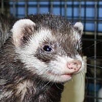 Ferret for adoption in Pinesville, Oregon - Jill