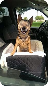 Chihuahua Mix Dog for adoption in Brentwood, California - Lacey