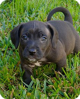 Labrador Retriever/Beagle Mix Puppy for adoption in La Habra Heights, California - Louie
