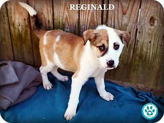 Labrador Retriever Mix Puppy for adoption in Kimberton, Pennsylvania - Reginald