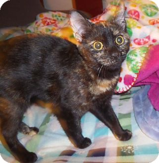 Domestic Shorthair Cat for adoption in East Brunswick, New Jersey - Confetti