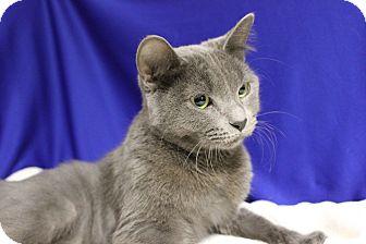 Manx Cat for adoption in Midland, Michigan - Notalia - NO FEE