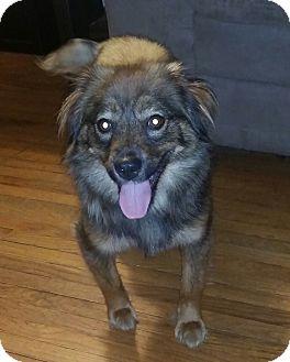Pomeranian Mix Dog for adoption in Toledo, Ohio - Cinnamon