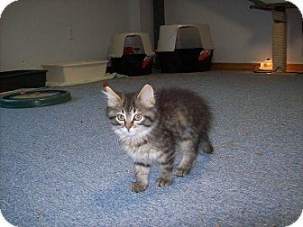 Domestic Longhair Kitten for adoption in Stockton, Missouri - Cissy
