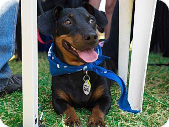 Dachshund Mix Dog for adoption in Cross Roads, Texas - Rocket