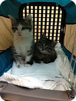 Maine Coon Kitten for adoption in Orland Park, Illinois - Female kitten 1