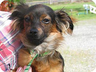 Dachshund Mix Dog for adoption in Orland, California - Knox