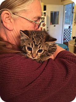 Maine Coon Kitten for adoption in McDonough, Georgia - Sam-I-Am