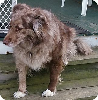 Australian Shepherd Mix Dog for adoption in Concord, Ohio - Betty and Boomer