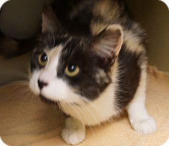 Calico Cat for adoption in Farmington, New Mexico - Cassie