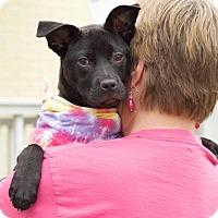 Adopt A Pet :: Stormy - Homewood, AL