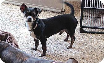 Dachshund Mix Dog for adoption in Las Vegas, Nevada - Milo 1