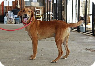 Hound (Unknown Type)/Labrador Retriever Mix Puppy for adoption in Leslie, Arkansas - Buster