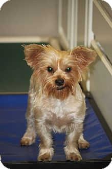 Yorkie, Yorkshire Terrier Mix Dog for adoption in Jewett City, Connecticut - Laptop - ADOPTED