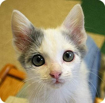 Domestic Shorthair Kitten for adoption in Hastings, Nebraska - Charlie Brown Kittens
