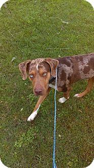Catahoula Leopard Dog Dog for adoption in Walker, Louisiana - Chief