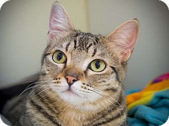 Domestic Shorthair Cat for adoption in Los Angeles, California - Gazelle