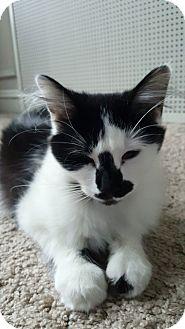 Domestic Longhair Cat for adoption in Chicago, Illinois - Scorpio